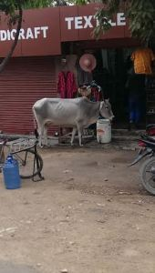 Just a starving cow outside a shop